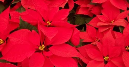 Flores-de-Nochebuena-Foto-Dgustar1-500x260